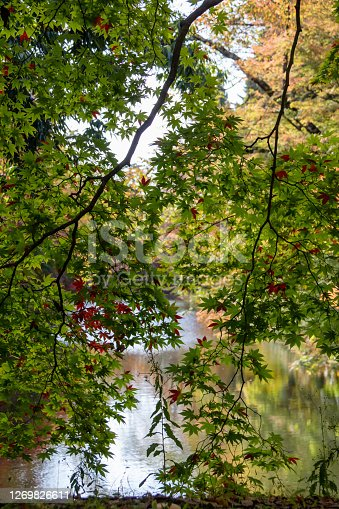 Autumn maple and waterside