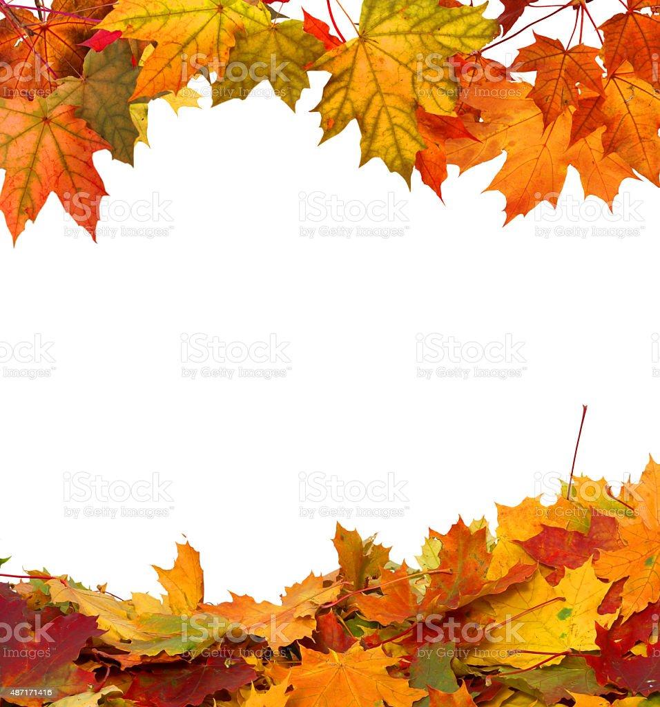 Autumn maple falling leaves isolated on white background stock photo