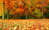 Autumn maple tree forest with fallen leaves on ground in Toronto, Ontario, Canada