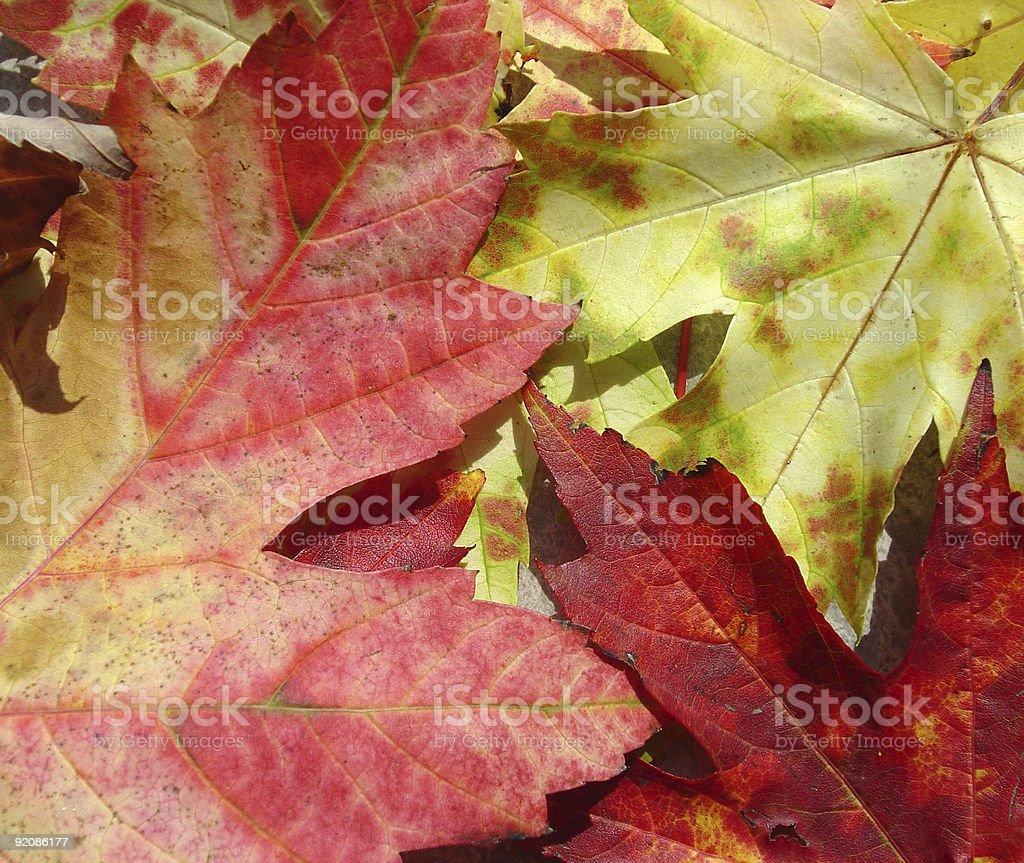 Autumn Maple Leaf Background royalty-free stock photo
