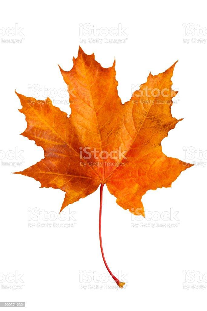 Autumn maple leaf isolated on white background. stock photo