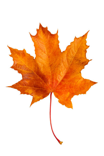 Autumn maple leaf isolated on white background. Autumn maple leaf isolated on white background. autumn leaf color stock pictures, royalty-free photos & images