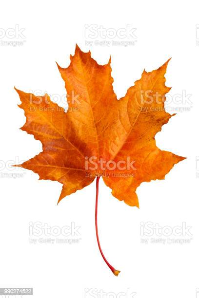 Photo of Autumn maple leaf isolated on white background.