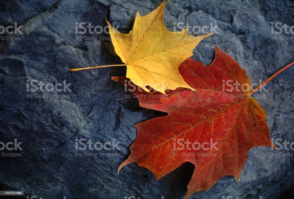 Autumn Maple Leaf Pair Rests on Moody Grey Rock stock photo