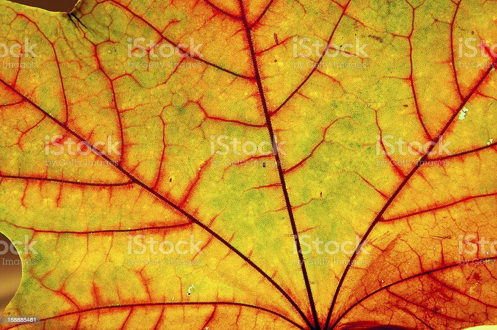 Autumn Maple Leaf stock photo