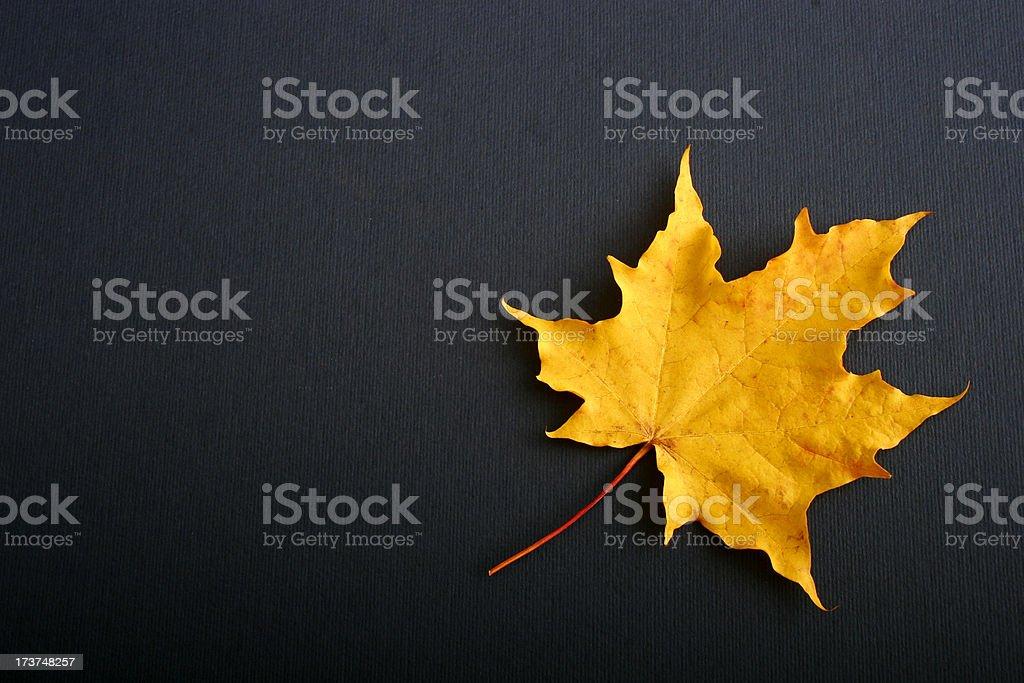 Autumn Maple Leaf royalty-free stock photo