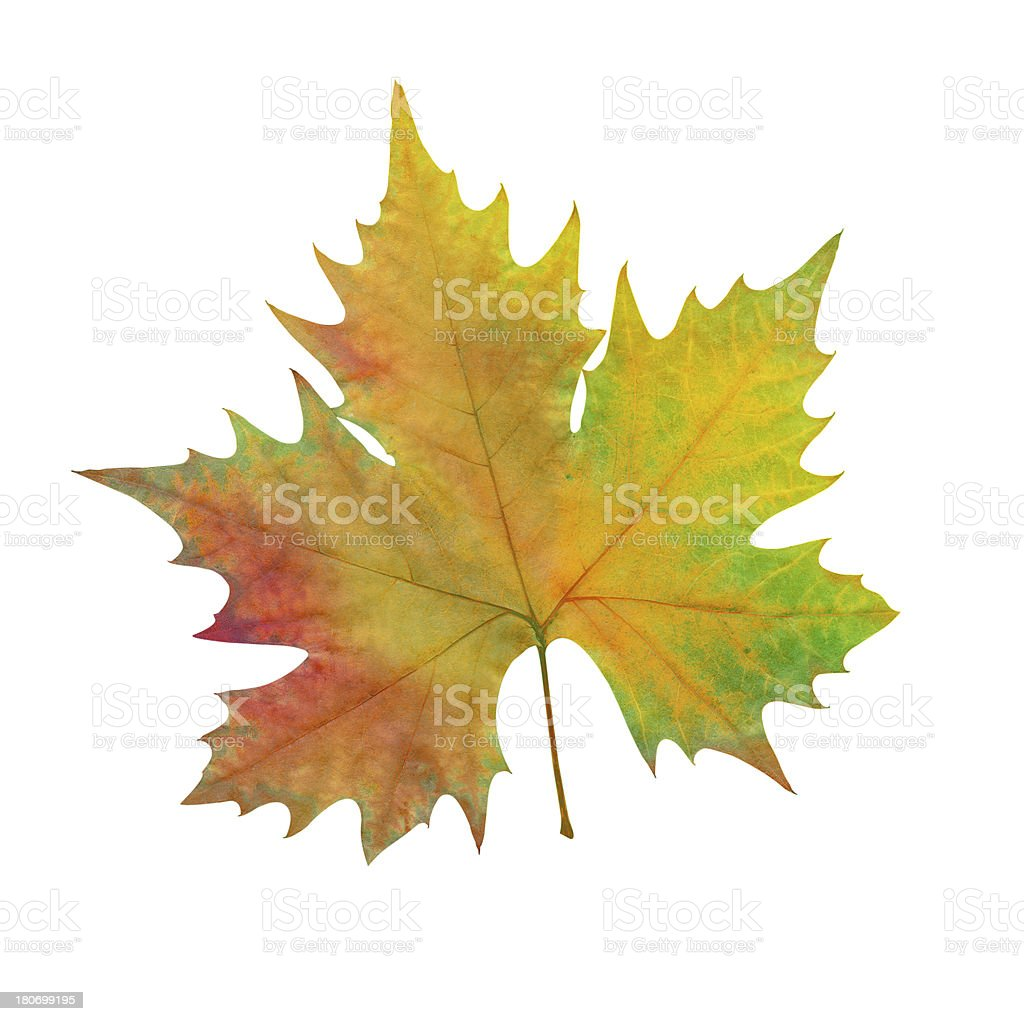 Autumn maple leaf royalty-free stock photo