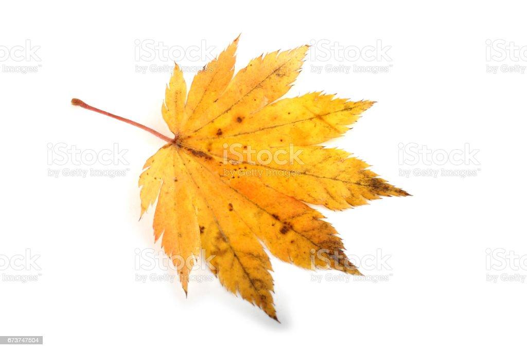 Autumn maple leaf photo libre de droits
