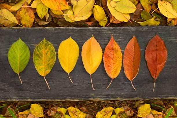Autumn Maple leaf transition stock photo