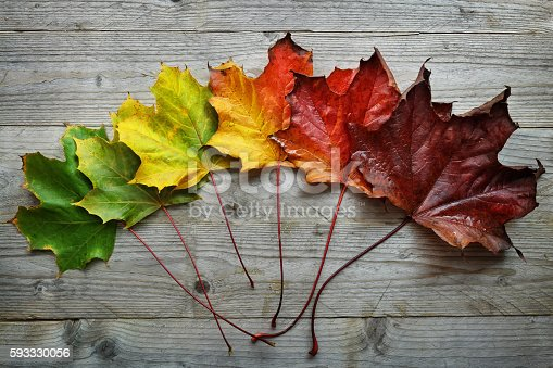 istock Autumn Maple leaf transition 593330056