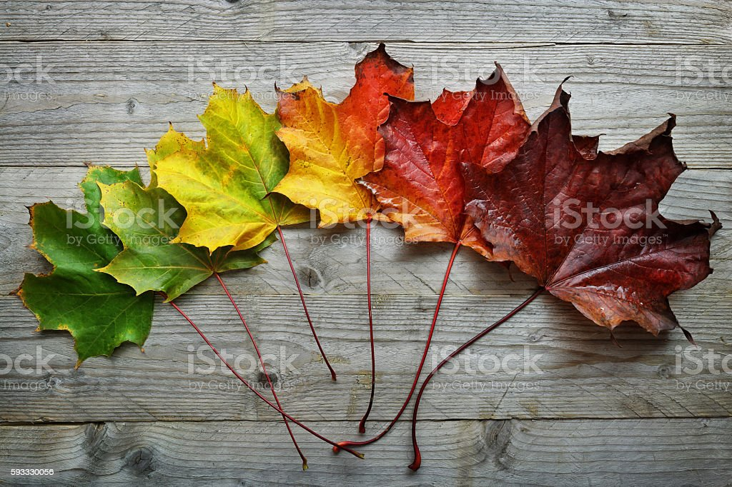 Autumn Maple leaf transition stock photo