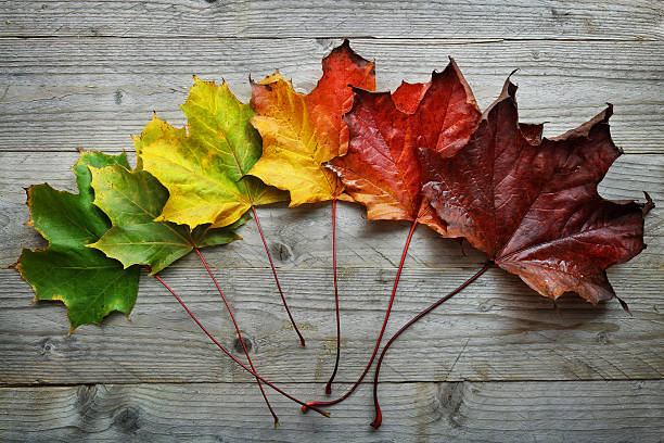 autumn maple leaf transition - changing form stock pictures, royalty-free photos & images