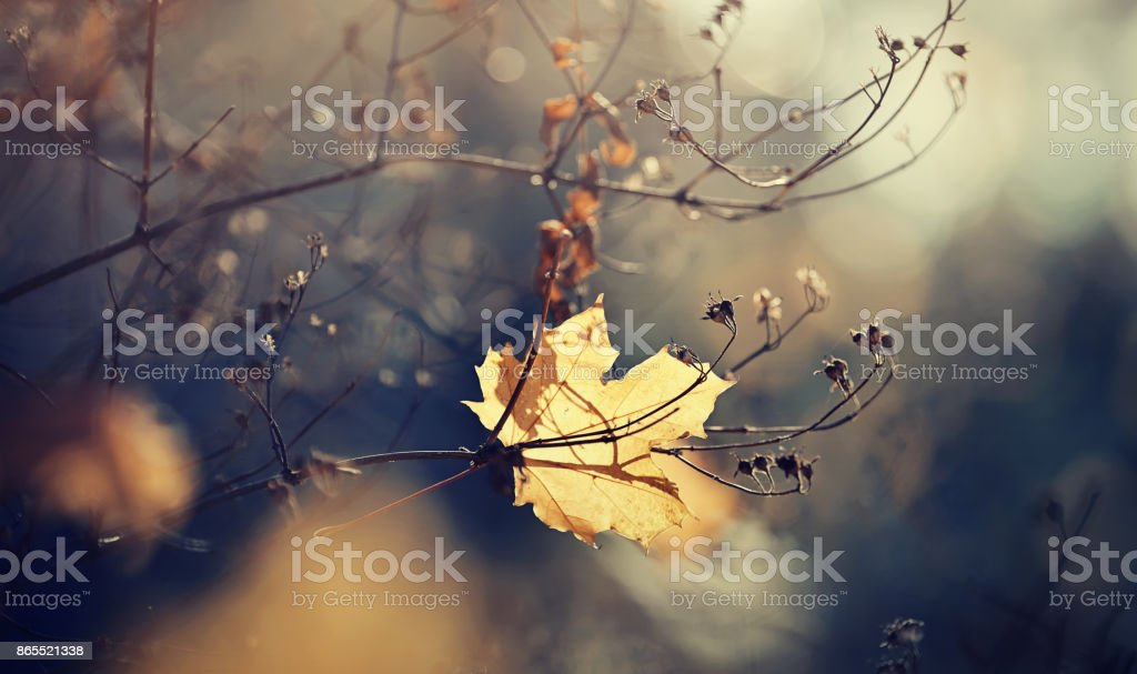 Autumn maple leaf which has fallen and got stuck in branches. stock photo