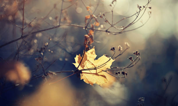 autumn maple leaf which has fallen and got stuck in branches. - grief stock photos and pictures