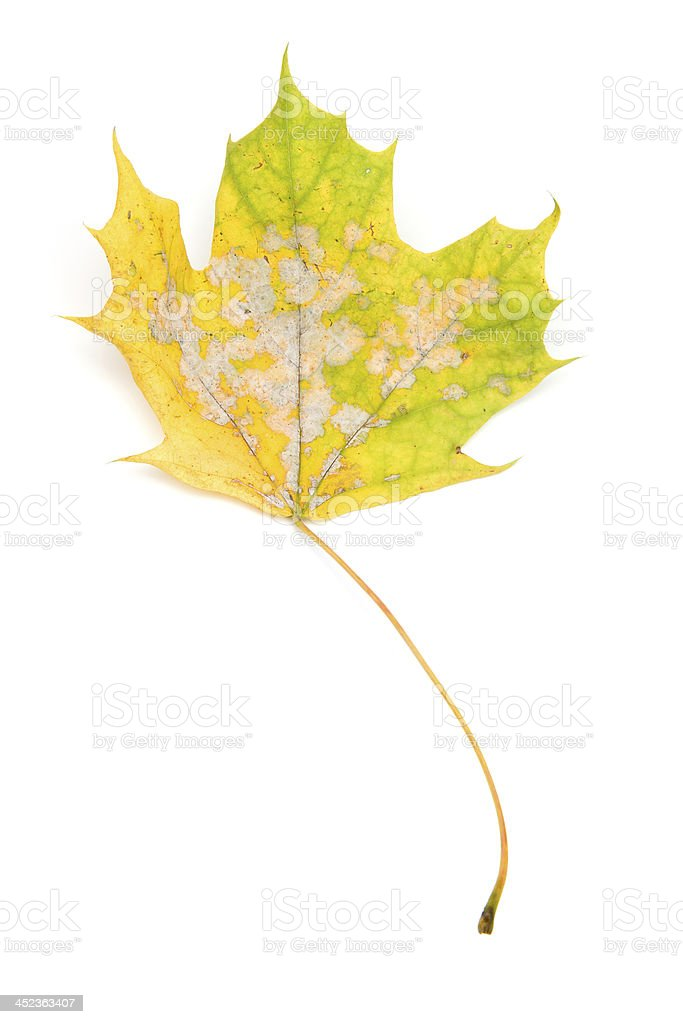 Autumn - Maple Leafs, Isolated on White royalty-free stock photo