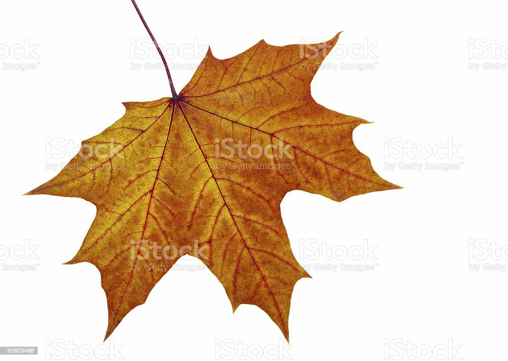 Autumn maple leave royalty-free stock photo