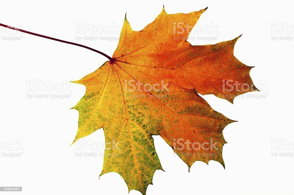 Autumn maple leave royalty-free stock photo