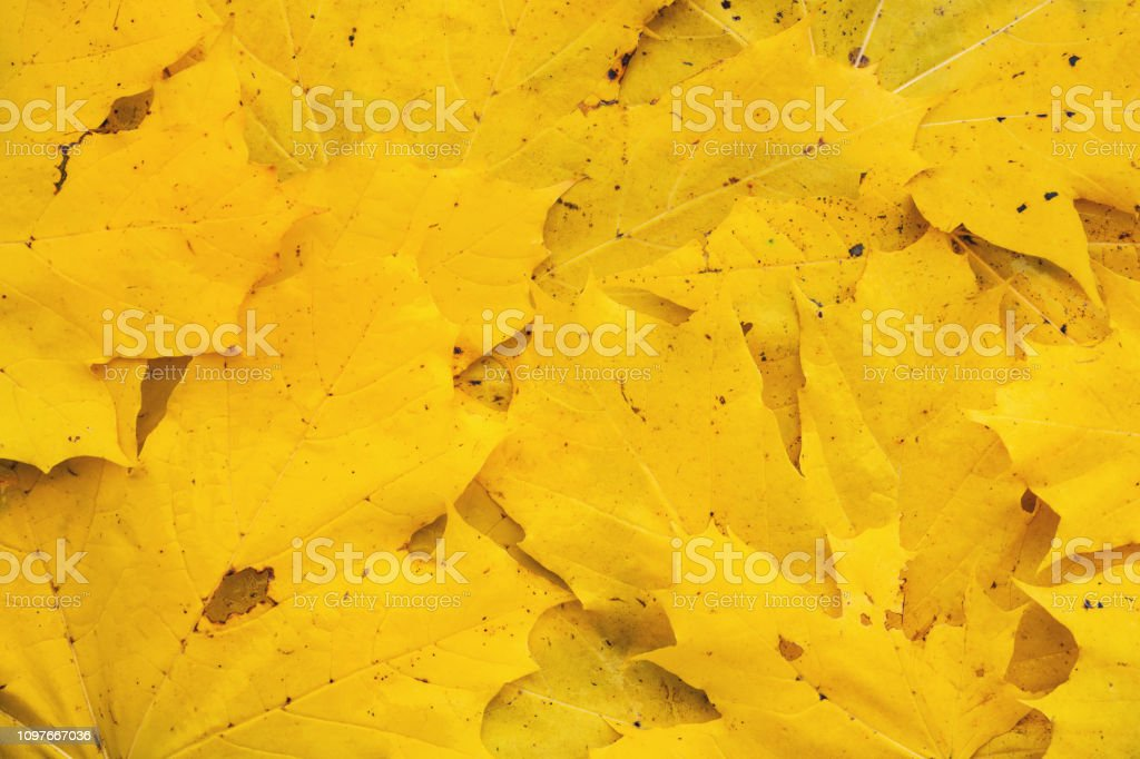 A view directly above a pile of yellow maple leaves.