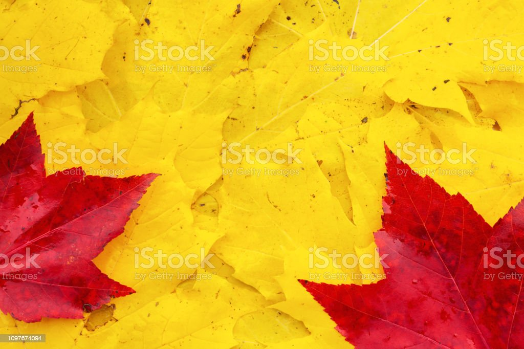 A view directly above a pile of autumn maple leaves.