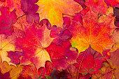 秋のカエデの葉のバックグラウンド