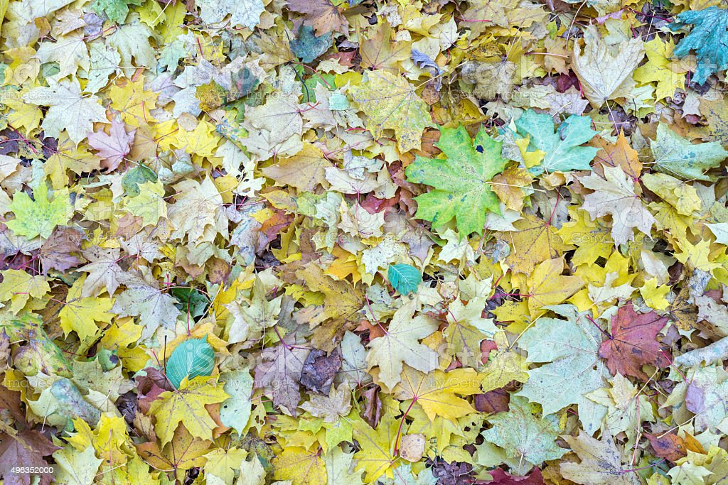 Multicolored autumn maple leaves cover lies on ground