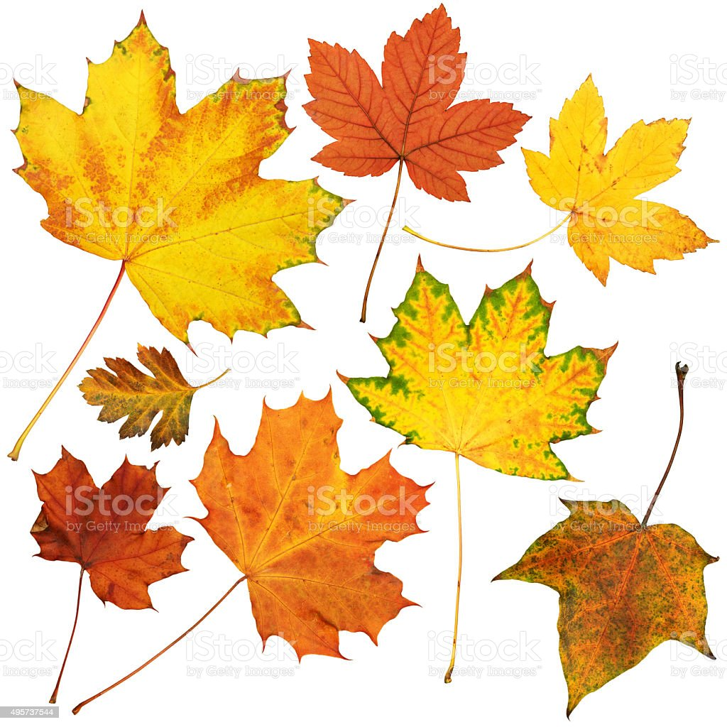 autumn maple leaves collection, object set isolated on white stock photo