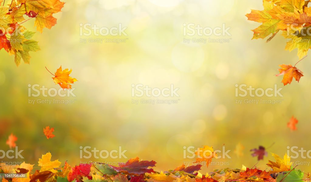 autumn maple leaves falling leaves natural background stock photo