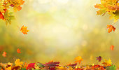 Autumn maple leaves .Falling leaves natural background.