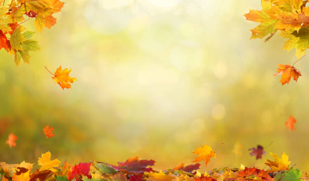 Autumn maple leaves .Falling leaves natural background. stock photo