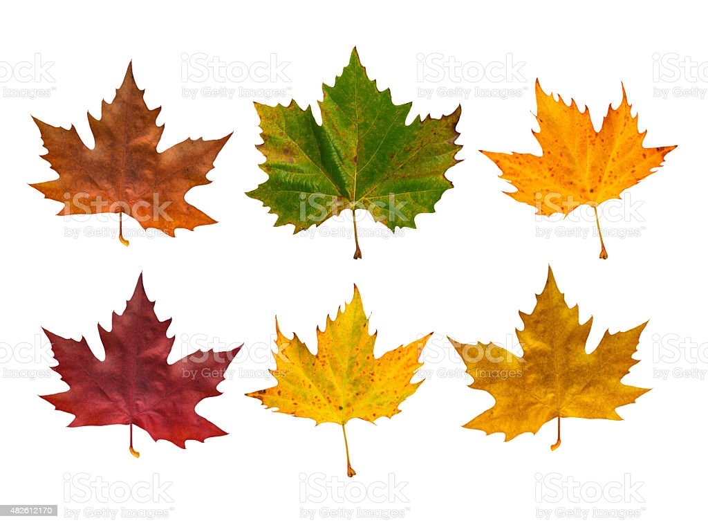 Autumn Maple Leaves In Different Colours stock photo