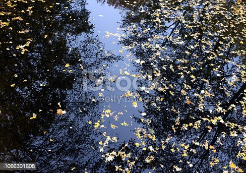 istock Autumn maple leaves in puddle of water. Puddle water autumn maple leaves. 1066301608