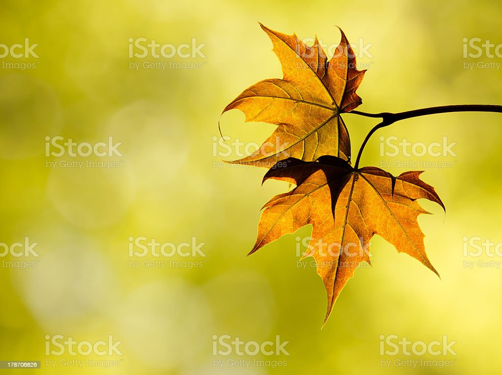 Autumn maple leaves in the forest royalty-free stock photo