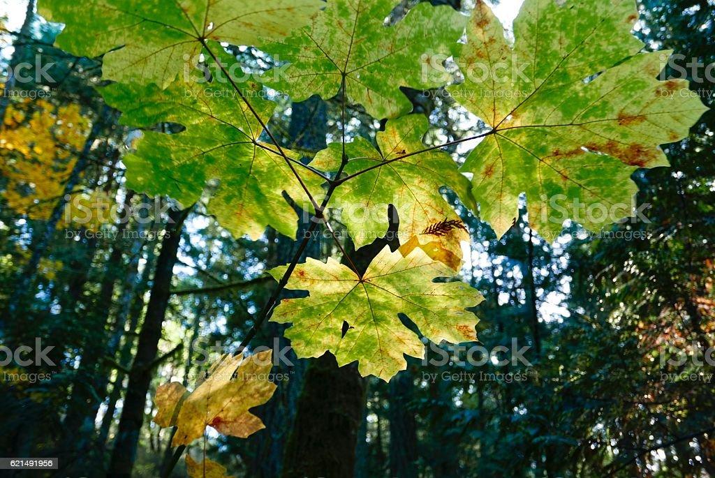 Foglie di acero autunno nella foresta foto stock royalty-free