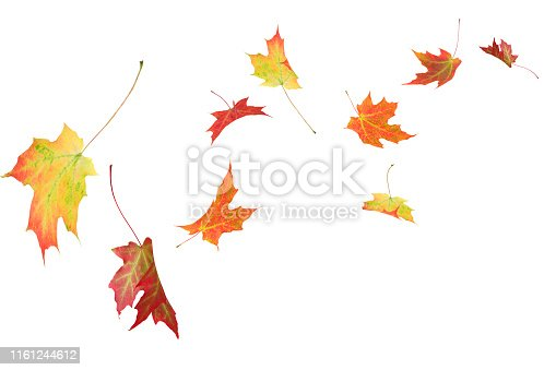 Fall autumn maple leaves blowing in the wind isolated on white