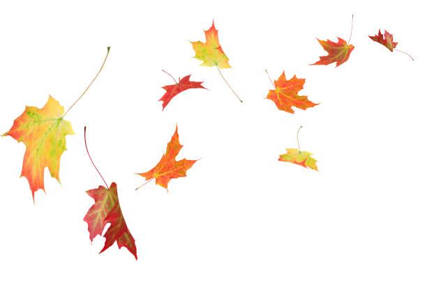 Autumn maple leaves isolated stock photo