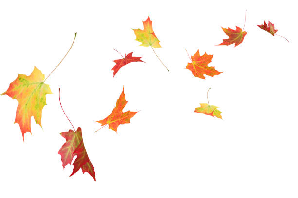 Autumn maple leaves isolated Fall autumn maple leaves blowing in the wind isolated on white leaf stock pictures, royalty-free photos & images