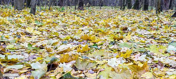 Photo of Autumn maple leaves lie in forest. Focus on foreground.