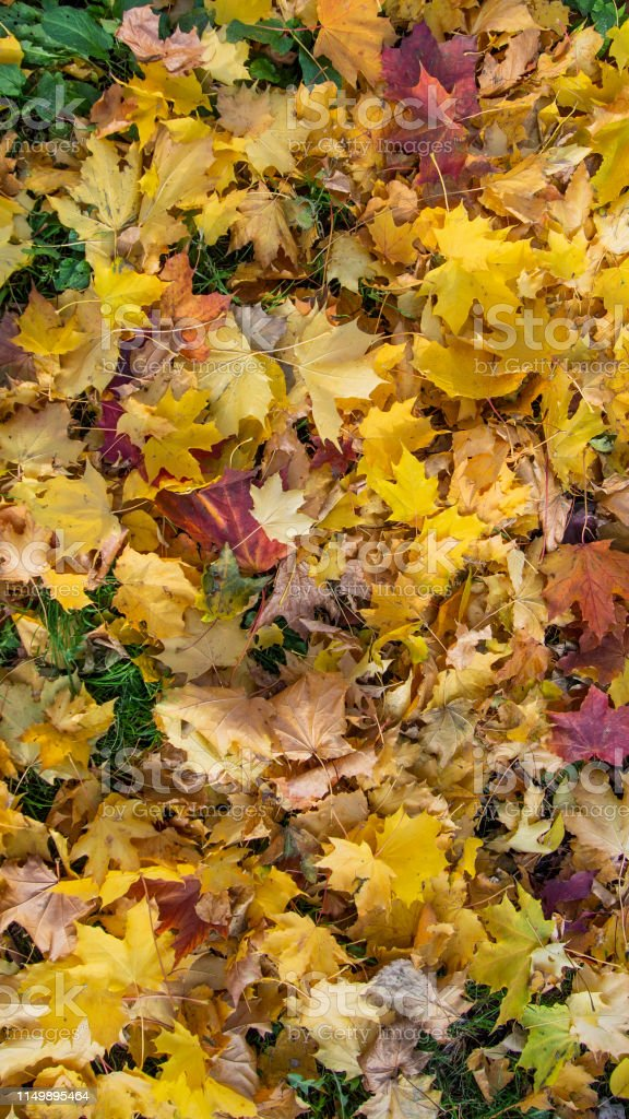 Autumn maple leaves of red, yellow, orange, burgundy colours on the...