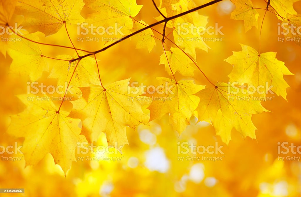 autumn maple leaves on branch stock photo