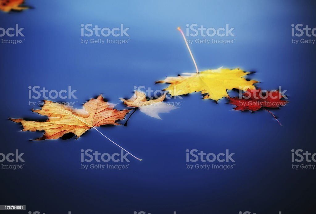 autumn maple leaves on water stock photo