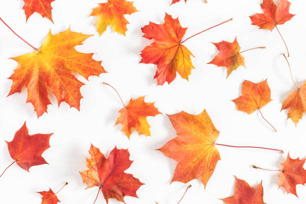 autumn maple leaves on white background. flat lay, top view - leaf imagens e fotografias de stock