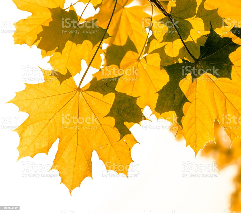 Autumn Maple leaves on white background royalty-free stock photo
