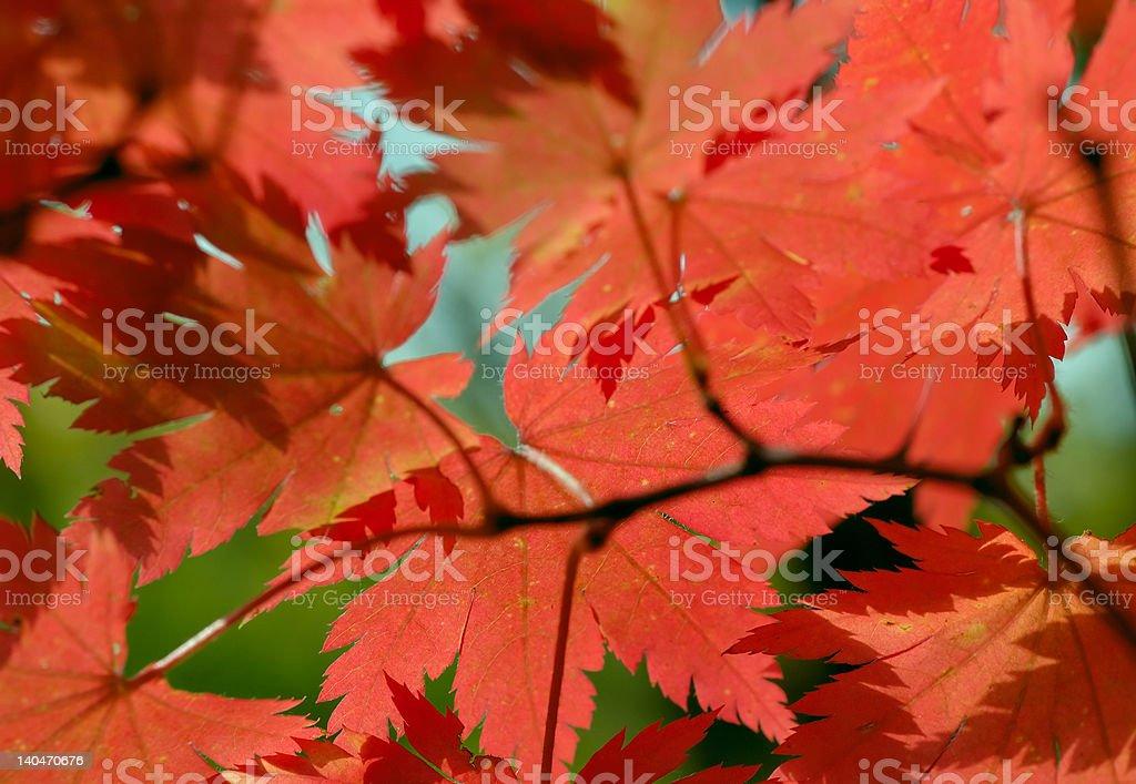 Autumn maple leaves (Acer pseudosieboldianum) royalty-free stock photo