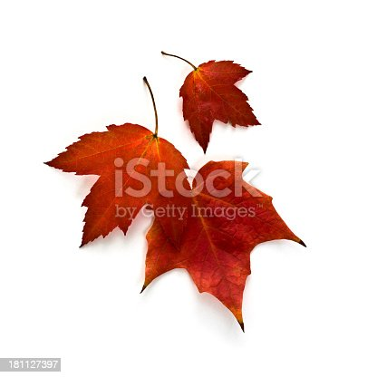 Autumn Maple Leaves isolated on white.