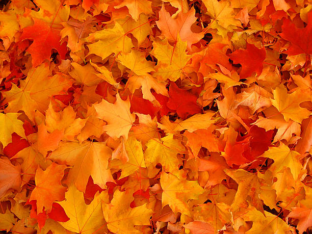 autumn, maple leaves. - maple leaf stock pictures, royalty-free photos & images