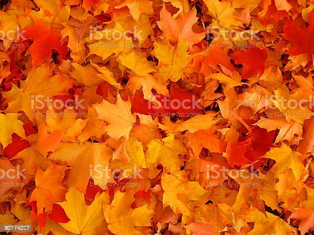 Photo of Autumn, maple leaves.