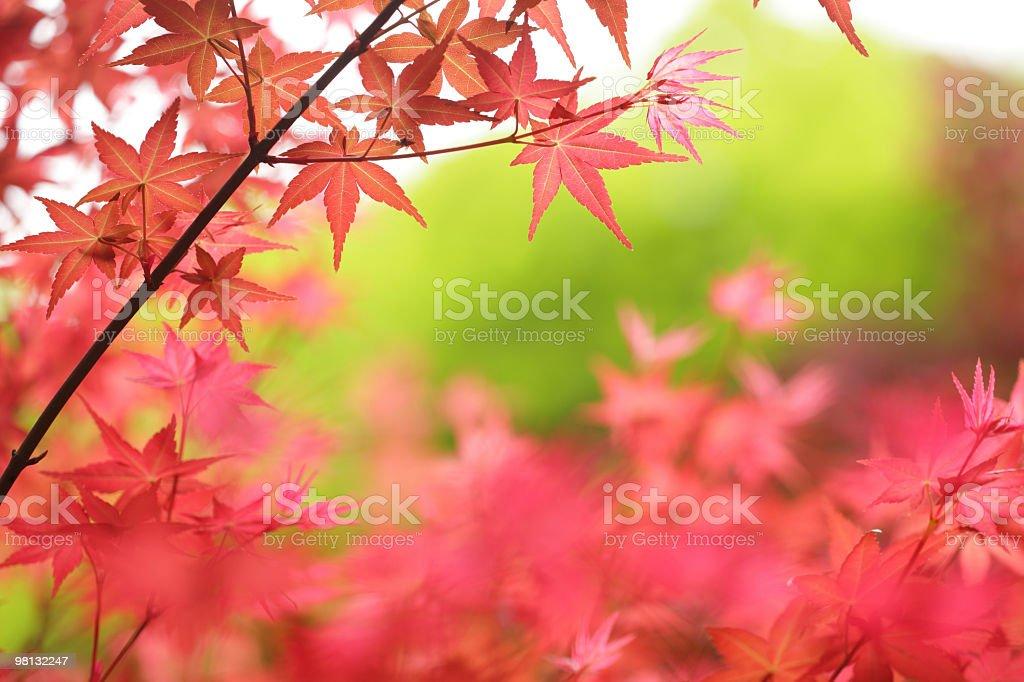 Foglie di acero autunno foto stock royalty-free