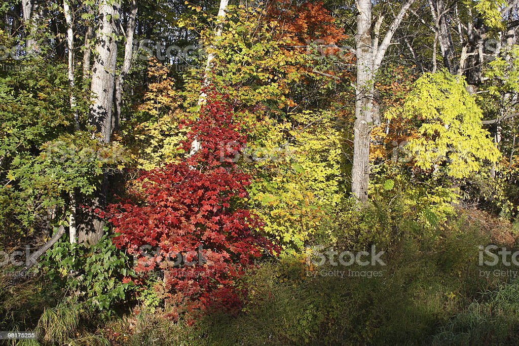 Autumn maple royalty-free stock photo