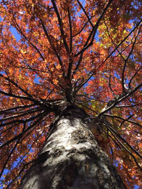 Autumn maple tree from below stock photo