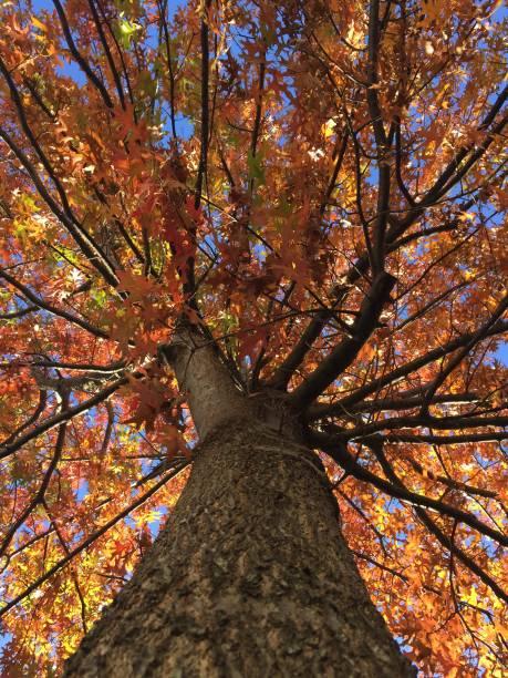 Autumn maple tree from below stock photo